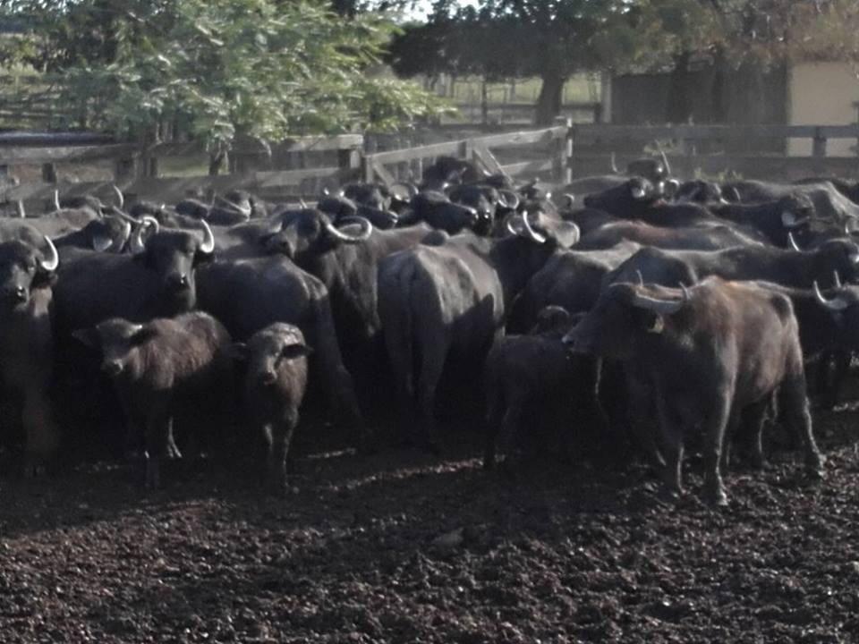 Búfalos en Artigas