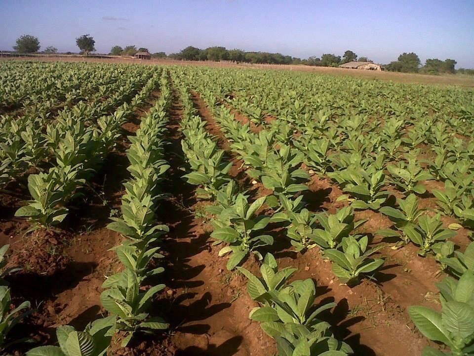 Las plantaciones de tabaco en Artigas contaminan,aire,agua,tierra y producen la enfermedad del tabaco verde