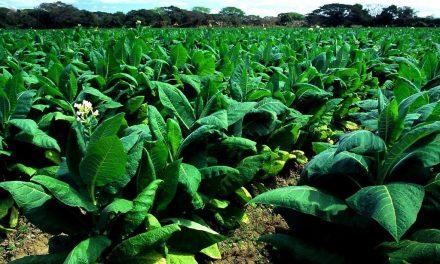 El Dr.Emilio Toma asegura que las plantaciones de tabaco contaminan