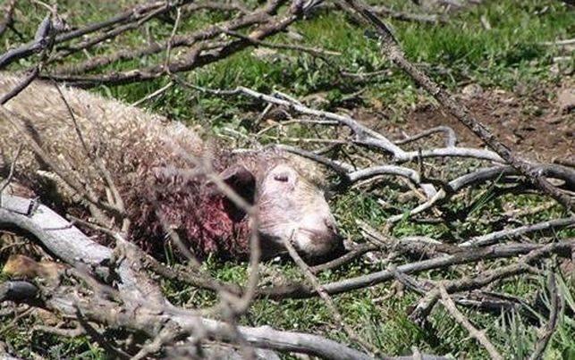 Perros asilvestrados atacan a 21 corderos