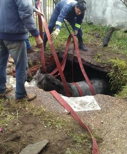 MIENTRAS SE JUGABA URUGUAY-RUSIA EFECTIVOS DE BOMBEROS Y MUNICIPALES RESCATARON A UN CABALLO QUE HABÍA CAÍDO EN UN POZO NEGRO